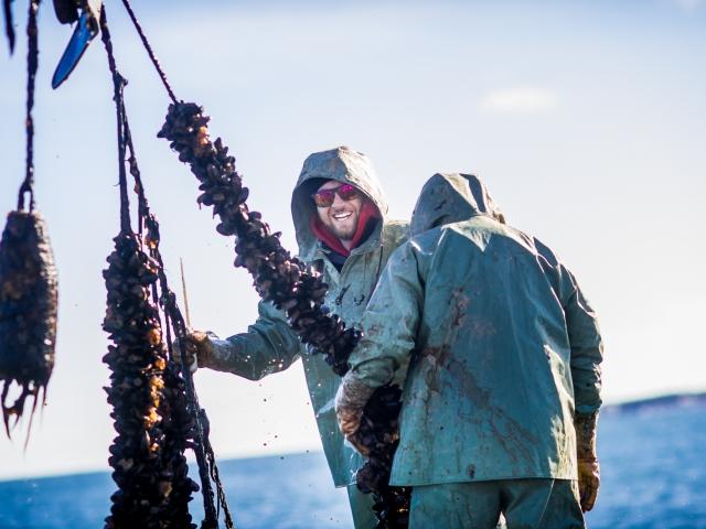 PEI Mussel King harvesting