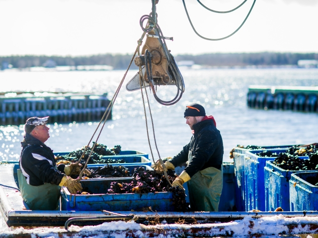 Unloading the Mussel Boat