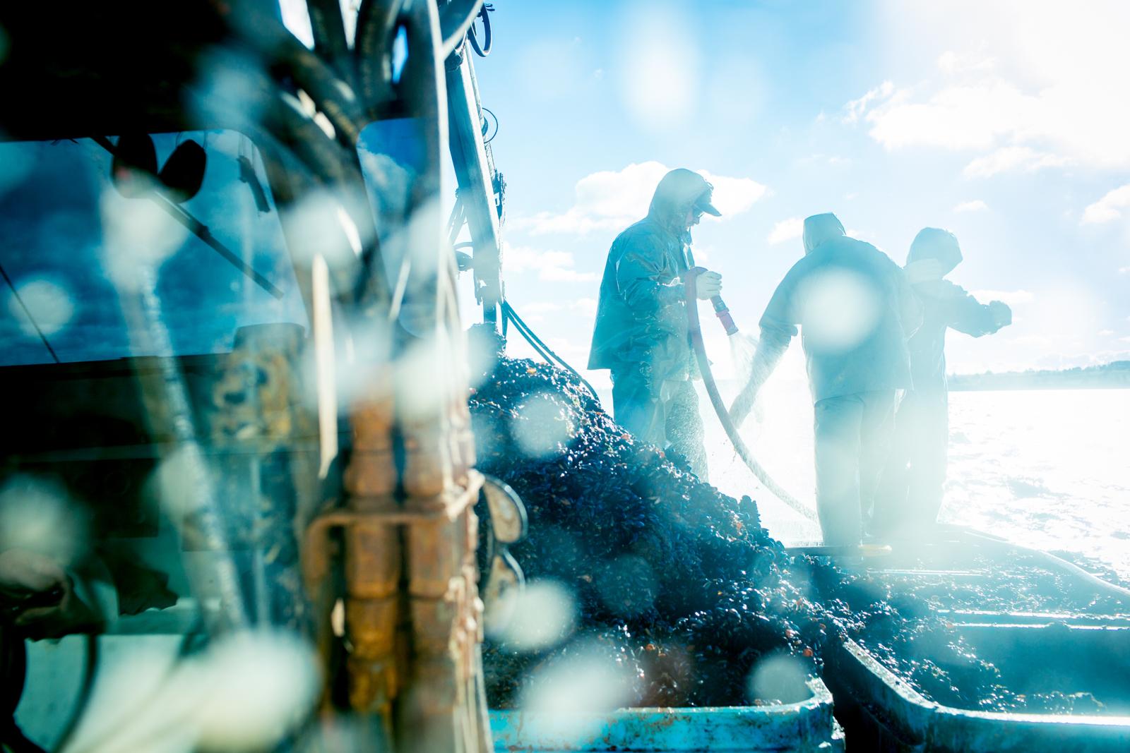 Mussel Harvesting